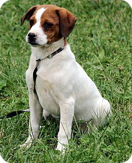 Beagle Mix Puppy for adoption in Brattleboro, Vermont - Zuri