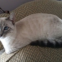 Siamese Cat for adoption in Horsham, Pennsylvania - Aurora