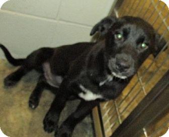 Shepherd (Unknown Type)/Retriever (Unknown Type) Mix Puppy for adoption in Aiken, South Carolina - LANA