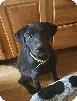Labrador Retriever Dog for adoption in Cleveland, Oklahoma - Sassy $50 adoption fee