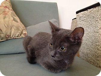 American Shorthair Kitten for adoption in New York, New York - Misty