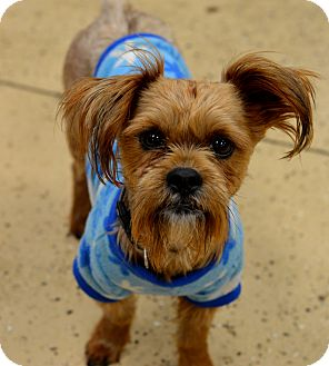 Schnauzer (Standard)/Yorkie, Yorkshire Terrier Mix Dog for adoption in Indianapolis, Indiana - Jarvis