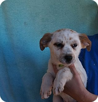Australian Shepherd/Golden Retriever Mix Puppy for adoption in Oviedo, Florida - Piper