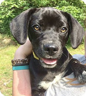 Labrador Retriever Mix Dog for adoption in Brattleboro, Vermont - Rey