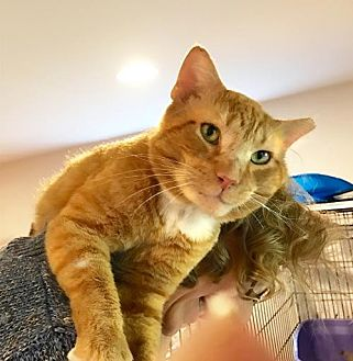 Domestic Shorthair Cat for adoption in Flint HIll, Virginia - BIG RED