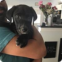 Adopt A Pet :: Snoop - Portland, OR