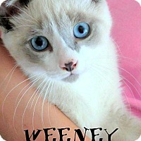 Adopt A Pet :: Weeny - Mooresville, NC
