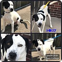 Adopt A Pet :: Mikey - Garden City, MI