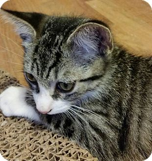 Domestic Shorthair Cat for adoption in Painted Post, New York - Tundra