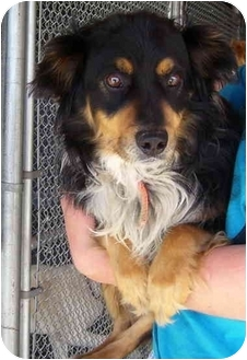 Collie Mix Dog for adoption in Somerset, Pennsylvania - George