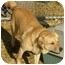 Photo 2 - Labrador Retriever Mix Dog for adoption in Fulton, Missouri - Major