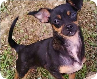 Chihuahua Mix Dog for adoption in Paintsville, Kentucky - Snuggles