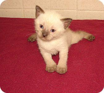Siamese Kitten for adoption in Florence, Kentucky - Dallas