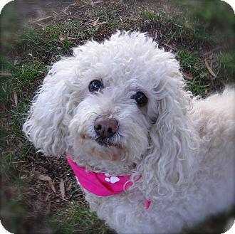 Poodle (Miniature) Dog for adoption in El Cajon, California - Joy