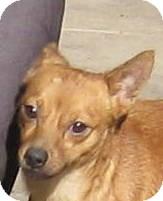Shiba Inu/Miniature Pinscher Mix Dog for adoption in Oakley, California - Bubba