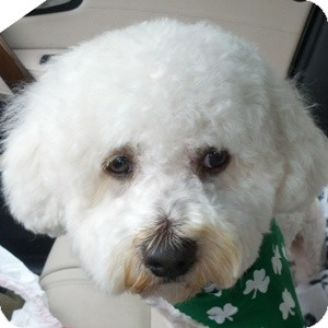 Bichon Frise Mix Dog for adoption in La Costa, California - Colby
