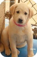 Retriever (Unknown Type)/Husky Mix Puppy for adoption in Danielsville, Georgia - Robbin