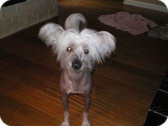 Chinese Crested Dog for adoption in Apex, North Carolina - Dillard