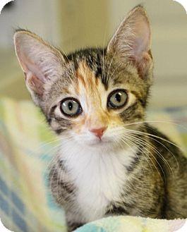 Domestic Shorthair Kitten for adoption in Winston-Salem, North Carolina - Sasha