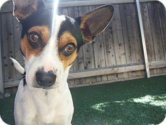 Rat Terrier Mix Dog for adoption in Dublin, California - Scooter