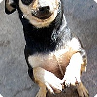 Adopt A Pet :: Punkin' - Oakley, CA