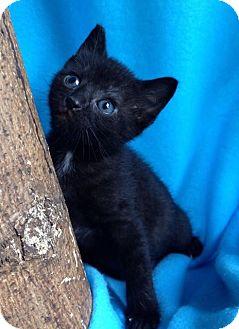 Domestic Shorthair Kitten for adoption in Union, Kentucky - Star