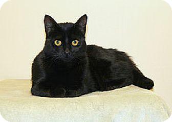 Domestic Shorthair Cat for adoption in Bellingham, Washington - Lexie