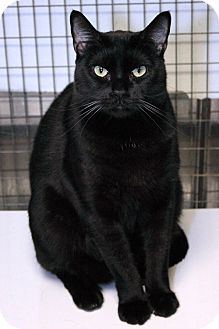 Domestic Shorthair Cat for adoption in Houston, Texas - Cole