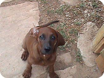 Redbone Coonhound Mix Puppy for adoption in El Cajon, California - Gabby