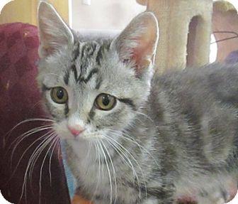 Domestic Mediumhair Cat for adoption in Lloydminster, Alberta - Indigo
