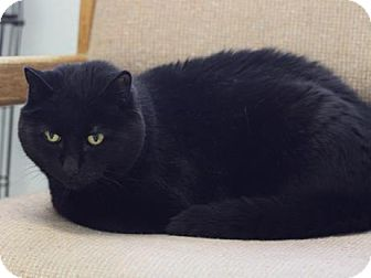 Bombay Cat for adoption in Long Beach, Washington - Blackie