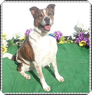 Shepherd (Unknown Type) Mix Dog for adoption in Marietta, Georgia - CHEWBACCA- See Video!