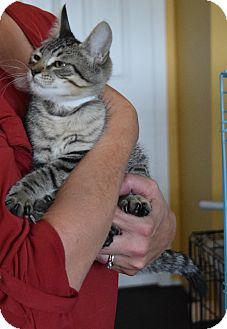 Domestic Shorthair Kitten for adoption in Surrey, British Columbia - Auburn