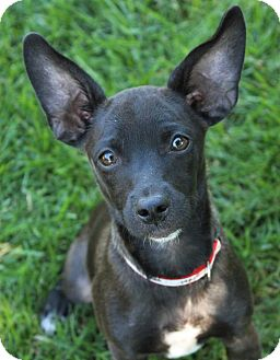 Terrier (Unknown Type, Small) Mix Puppy for adoption in Red Bluff, California - Aries