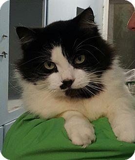 Domestic Mediumhair Cat for adoption in Port Coquitlam, British Columbia - Stella