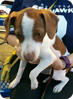Terrier (Unknown Type, Small)/Dachshund Mix Puppy for adoption in Silverdale, Washington - Lucyloo