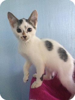Domestic Shorthair Kitten for adoption in Savannah, Georgia - Brandon