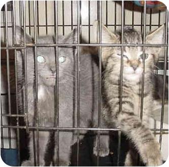 Domestic Shorthair Kitten for adoption in Overland Park, Kansas - Chandler & Ross