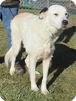 Great Pyrenees Mix Dog for adoption in Reeds Spring, Missouri - Dax