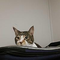 Adopt A Pet :: Calla Lilly - Bronson, FL