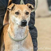 Adopt A Pet :: Lavender - Newport, MI