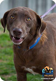 Labrador Retriever Mix Dog for adoption in Evansville, Indiana - Kinko