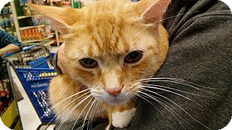 Domestic Shorthair Cat for adoption in Columbus, Ohio - Lucy