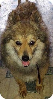 American Eskimo Dog Dog for adoption in Bellbrook, Ohio - Autumn