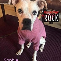 Adopt A Pet :: Sophie - New York, NY
