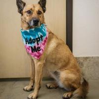 Adopt A Pet :: Amber - Frazier Park, CA