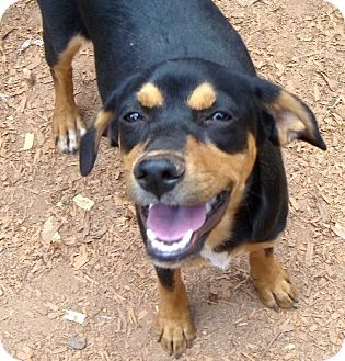 Terrier (Unknown Type, Medium)/Hound (Unknown Type) Mix Puppy for adoption in Anderson, South Carolina - Blackie