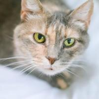 Adopt A Pet :: Trudi - New Freedom, PA