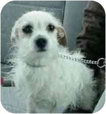 Chihuahua/Jack Russell Terrier Mix Dog for adoption in Lombard, Illinois - Oliver