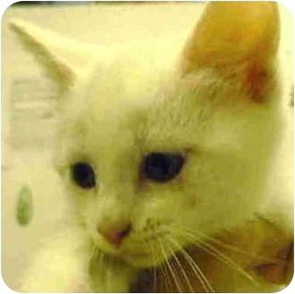 Domestic Shorthair Kitten for adoption in San Clemente, California - STAR